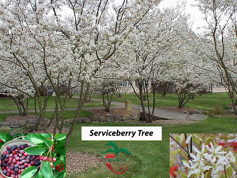 Serviceberry tree 4 feet in size. Shipped Bare root.