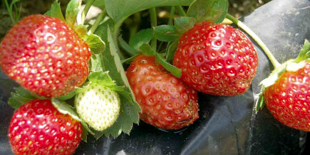 Sweet Charlie Spring bearer Strawberry plants