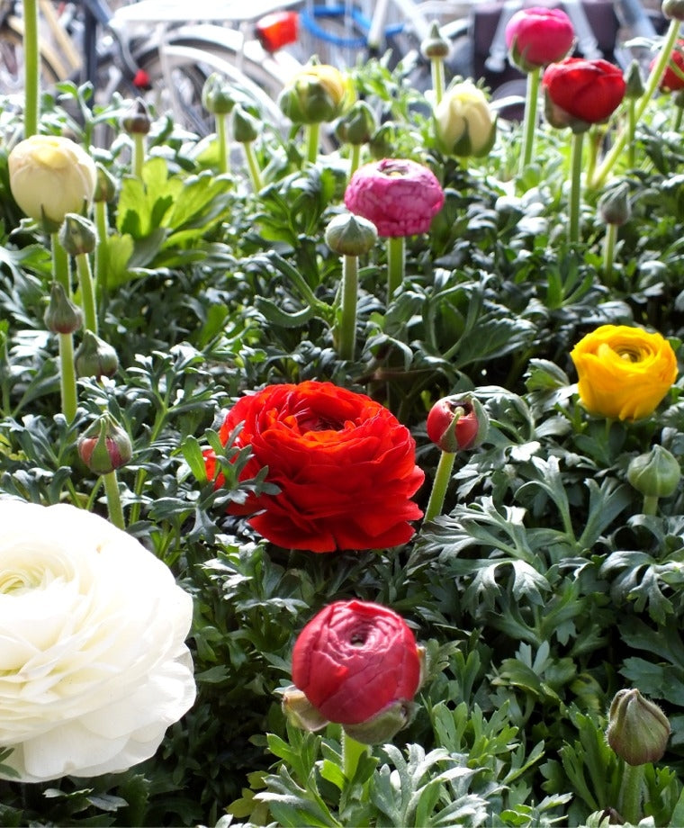 THE RANUNCULUS GIANT MIXTURE BUY 4 SETS AND GET 5TH SET FOR FREE!