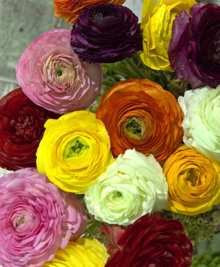 THE RANUNCULUS GIANT MIXTURE