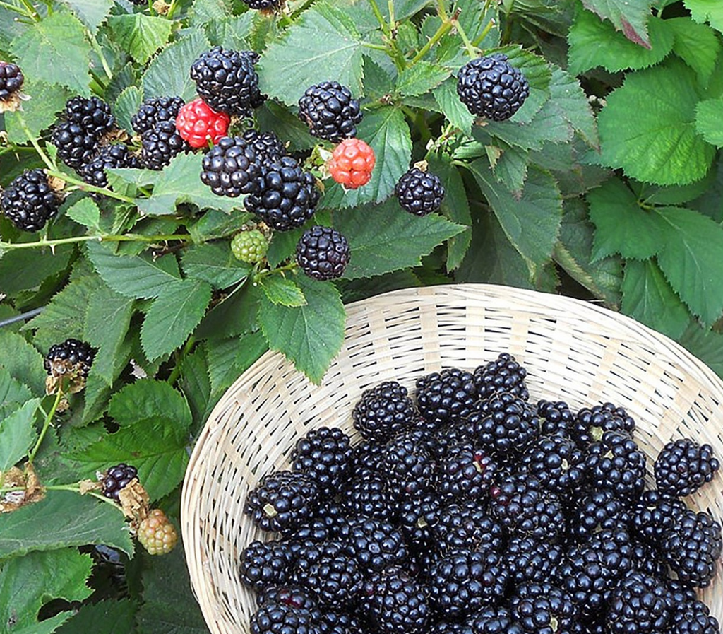 Triple Crown Blackberry plants-BUY 4 GET 1 Free-Non GMO-Free Shipping