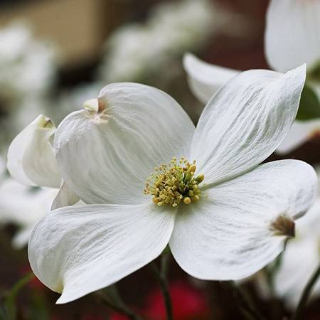 white dogwood trees