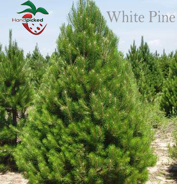 2 to 3 ft White Pine Tree ***Pre-sale