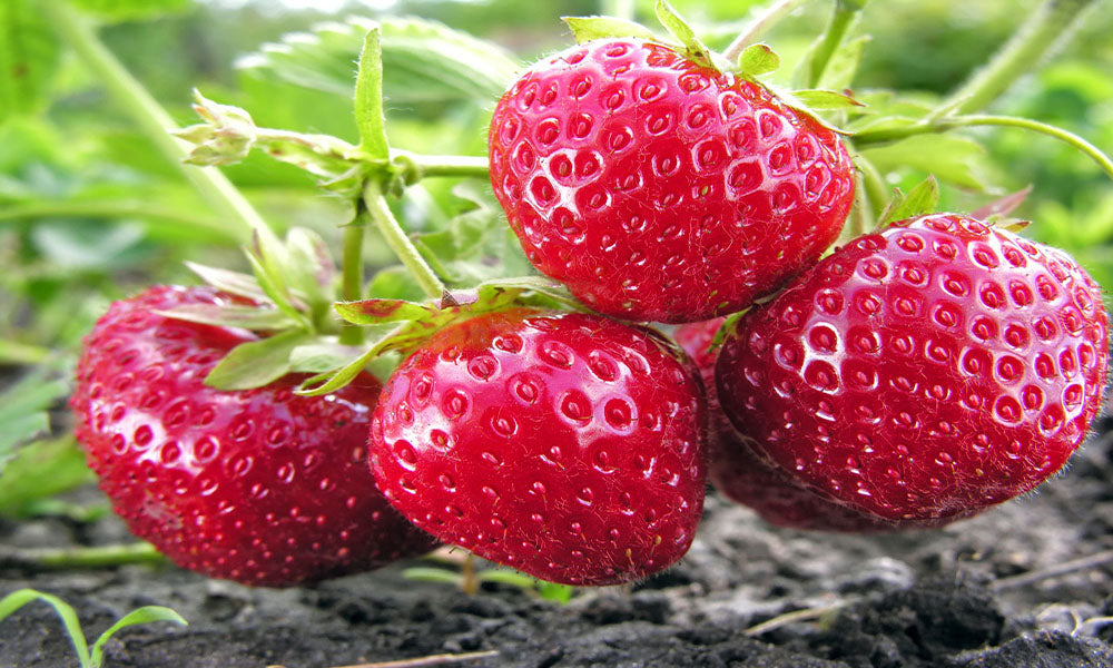 10 Evie Strawberry Plants, Non GMO, Buy 2 Get 1