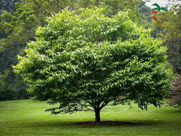 American Hornbeam Tree - 2 year old (5) from Hand Picked Nursery ***Pre-sale