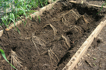 planting bare root asparagus plants