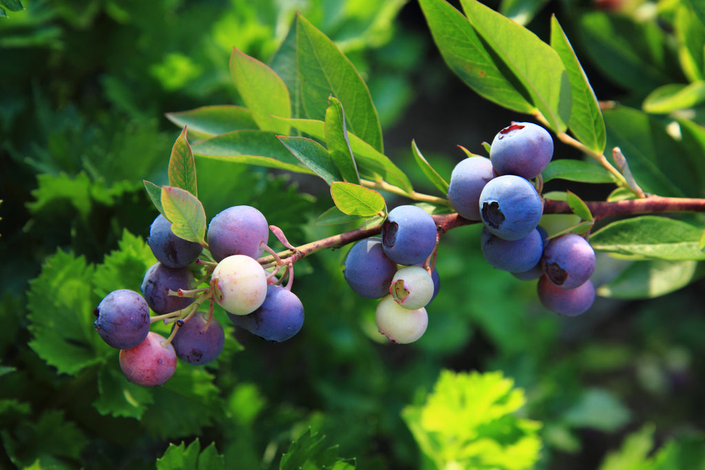 1 BLUE RAY HIGHBUSH BLUEBERRY PLANT 2 YEAR OLD, 1 QUART SIZED PLANT SHIPPED BARE ROOT FROM HAND PICKED NURSERY