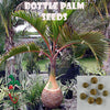 10 Bottle Palm seeds, ( Hyophorbe lagenicaulis ) from Hand Picked Nursery