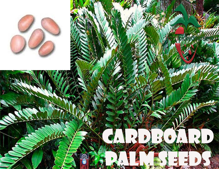 10  Cardboard Palm  seeds, ( Zamia furfuracea ) from Hand Picked Nursery