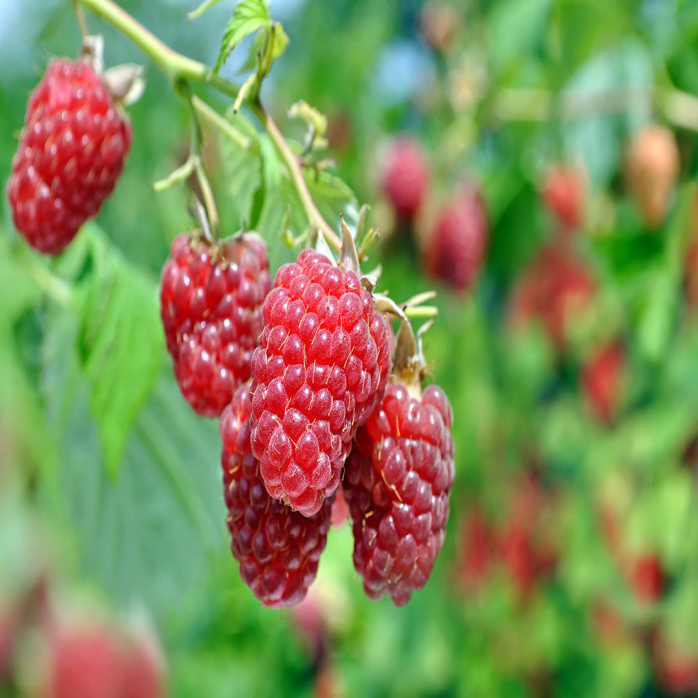 10 Caroline Red - Raspberry Plant - Everbearing - Organic Grown - Ready for Spring Planting