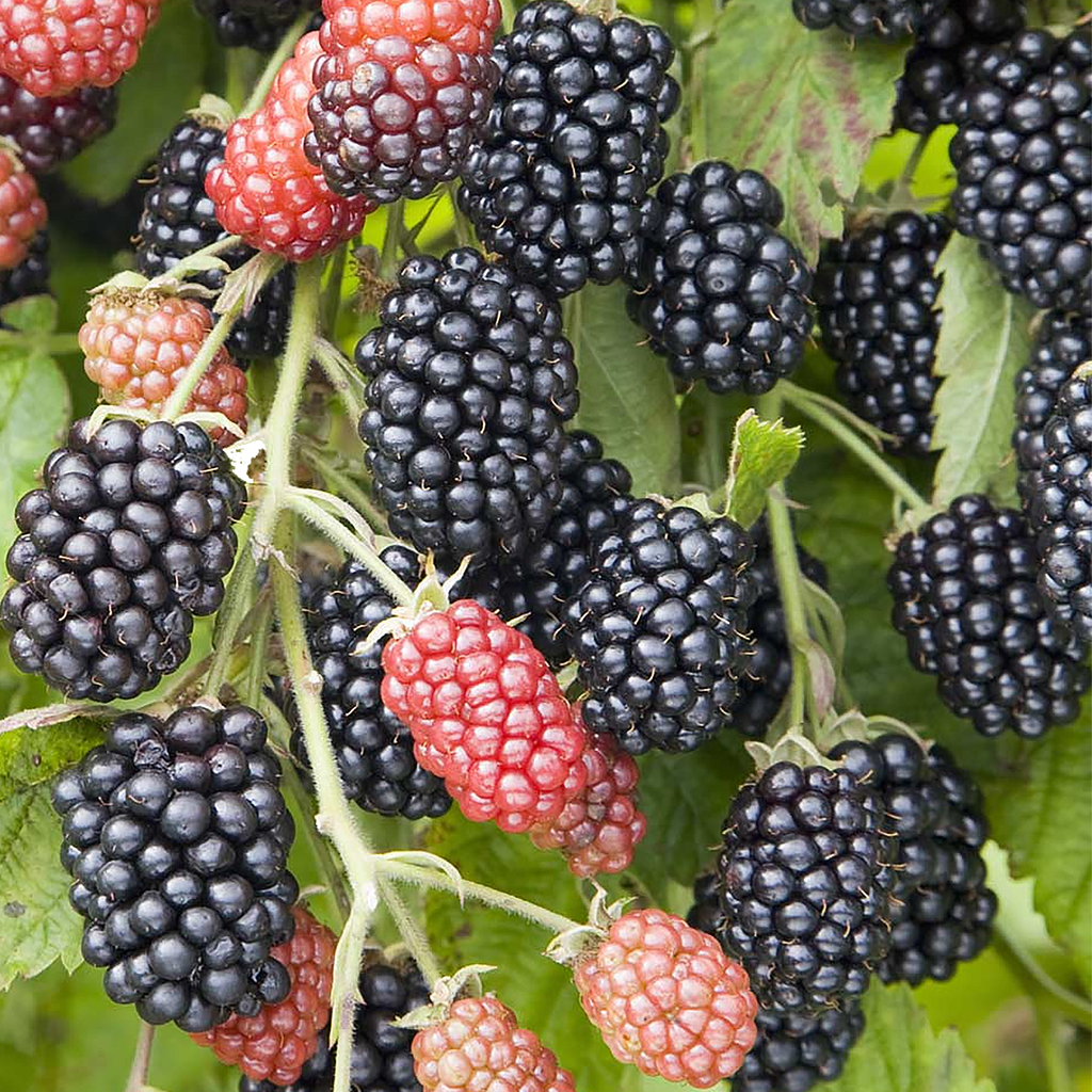 Chester Blackberry plants-BUY 4 GET 1 Free-Non GMO-Free Shipping