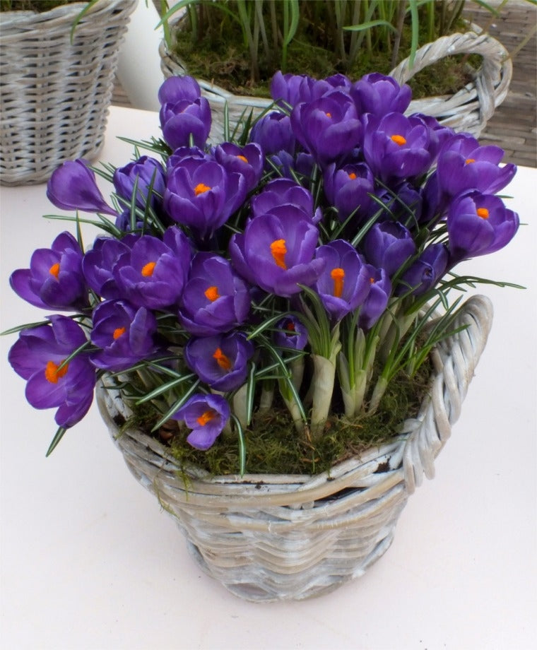 15 CROCUS VERNUS FLOWER RECORD, 9/+ cm Bulbs, Great boarder bulb early bloomer.