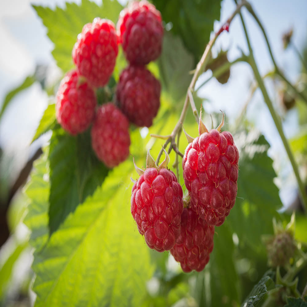 1 Caroline Red - Raspberry Plant - Everbearing - Organic Grown - Ready for Spring Planting