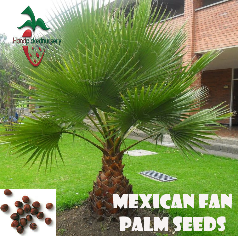 10  Mexican Fan Palm seeds, ( WASHINGTONIA ROBUSTA ) from Hand Picked Nursery