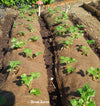 10 Evie Strawberry Plants, Non GMO, Buy 4 Get 1