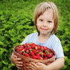 Fort Laramie Everbearing Strawberry Plants - Bare Root Non-GMO Plants 25 Plants