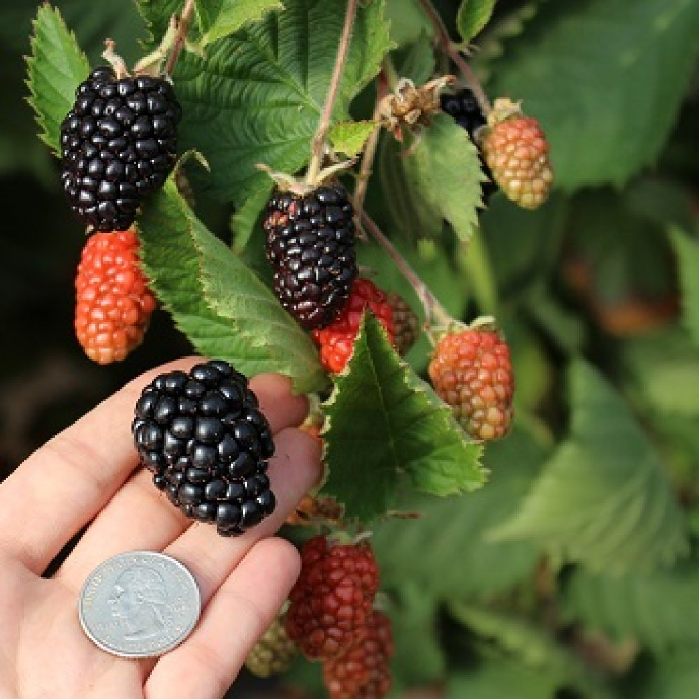 Prime Ark Blackberry plants-BUY 3 GET 1 Free-Non GMO-Free Shipping