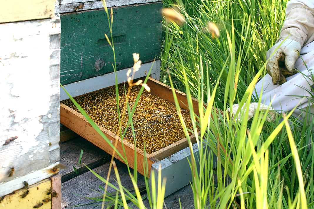 Apitherapy products: bee pollen in a pollen trap in a beehive