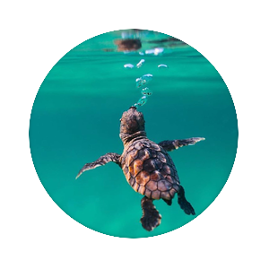 Baby sea turtle, PopSockets