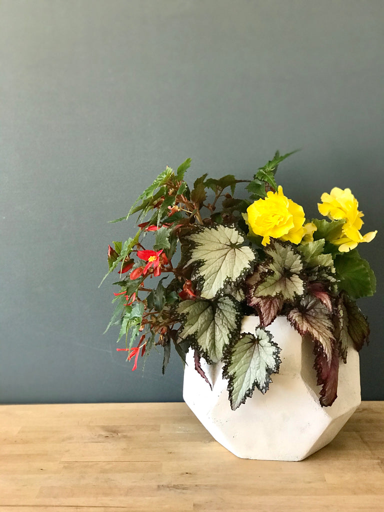 Begonia Planter (Outdoor)