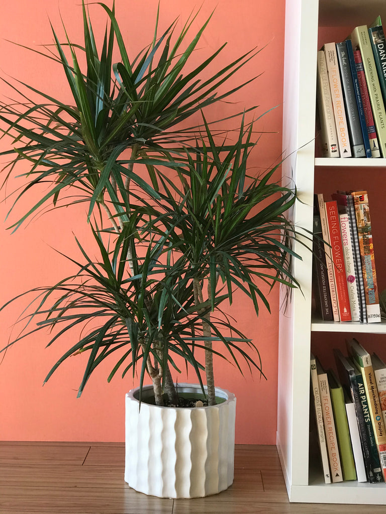Dracaena (Dragon Plant)- Large Emerald