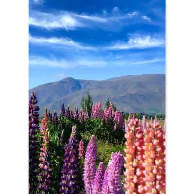 New Zealand Lupins Photography wall art print at Claude & Leighton