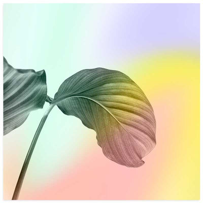 Pastel Rubber Plant Leaves square botanical Art Print at Claude & Leighton
