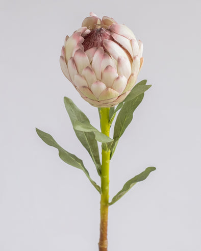 PROTEA SPRAY CREAM PINK 56CM