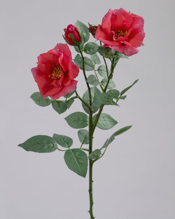 TEA ROSE X 2 BEAUTY 66CM