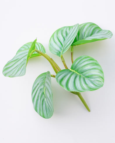 CALATHEA ORBIFOLIA BUSH UV PROTECTED 19CM - 6583