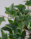 IVY BUSH VARIEGATED 36CM UV PROTECTED - 6675VG
