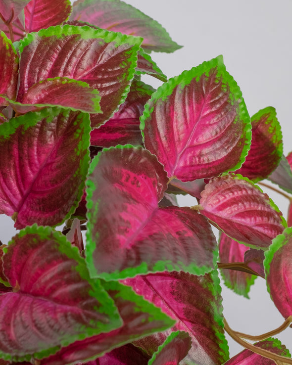 COLEUS BUSH BURG/GREEN UV PROTECTED - 6677