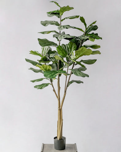 POTTED FIDDLE TREE 6' (182CM) - 6762