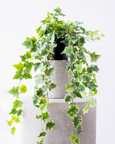 POTTED TRAILING IVY - P10
