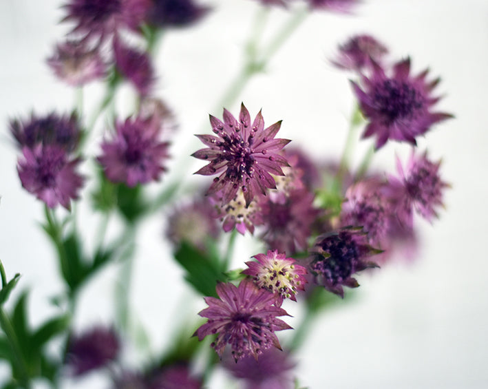 purple astrantia from tin can studios bloom box