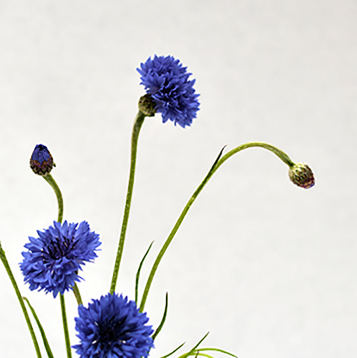 cornflower from our flower box kit