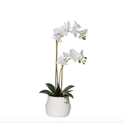 Rogue: Butterfly Orchid - Basket Pot