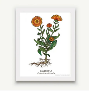 "The Bower Studio- 8""x10"" Calendula Print"