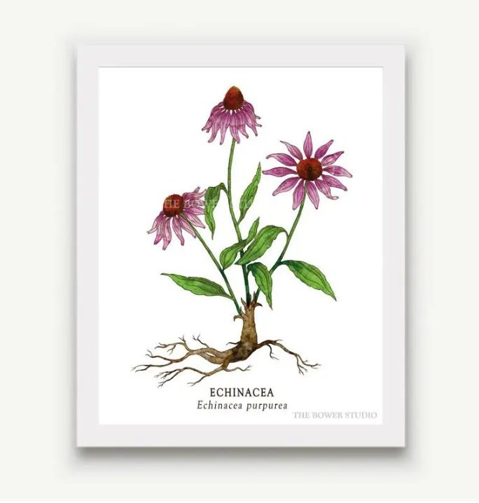 "The Bower Studio- 8""x10"" Echinacea Botanical Print"
