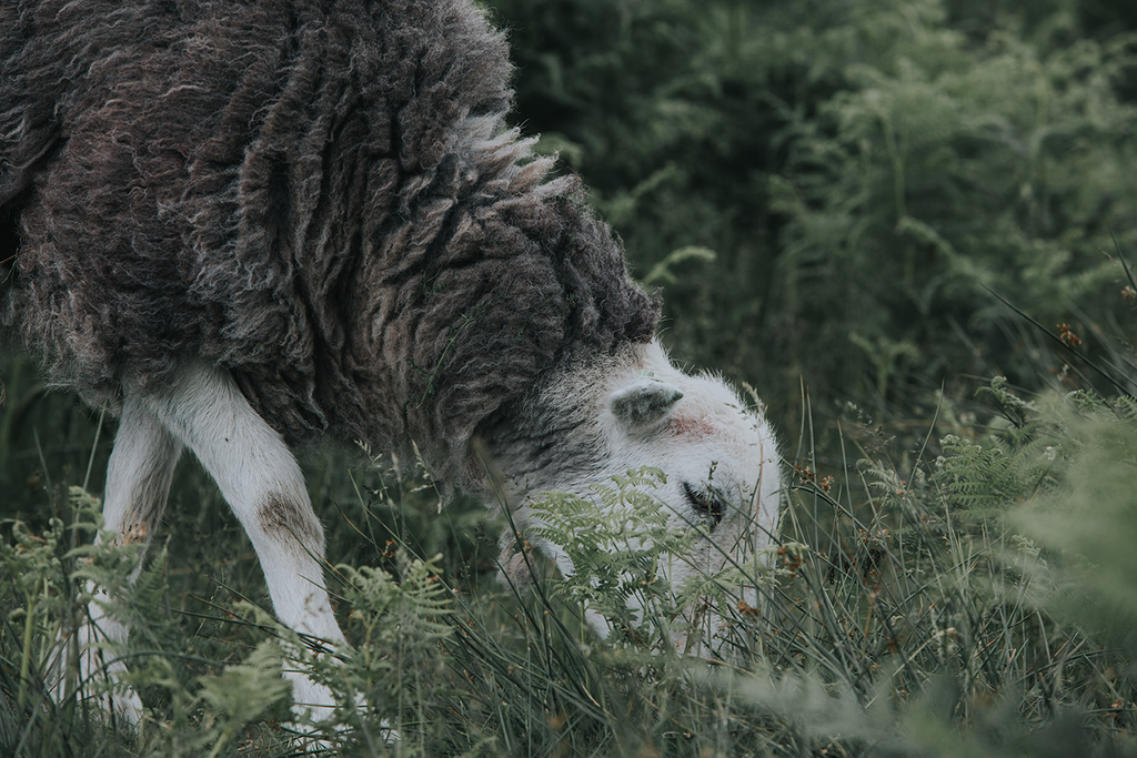 herdwick sheep yorkshire hills grass
