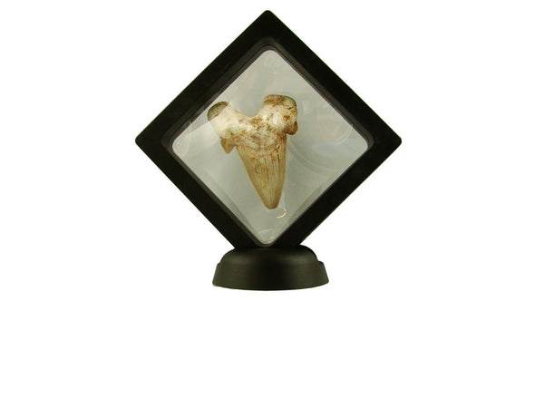 Beautiful Carcharocles Auriculatus Shark Tooth Fossil in Display Case #CA3