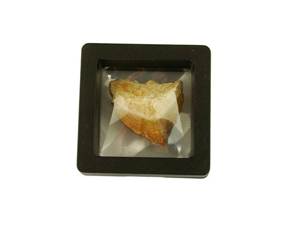 Beautiful Squalicorax Shark Tooth Fossil in Display Case #S3