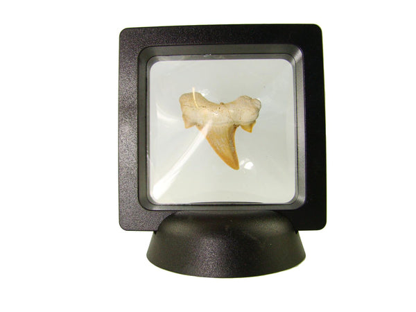 Beautiful Carcharocles Auriculatus Shark Tooth Fossil in Display Case #CA5