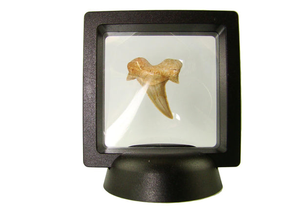 Beautiful Carcharocles Auriculatus Shark Tooth Fossil in Display Case #CA6
