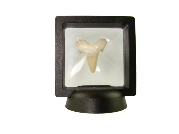 Beautiful Carcharocles Auriculatus Shark Tooth Fossil in Display Case #CA8