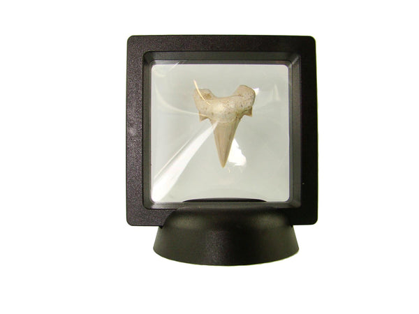 Beautiful Carcharocles Auriculatus Shark Tooth Fossil in Display Case #CA10