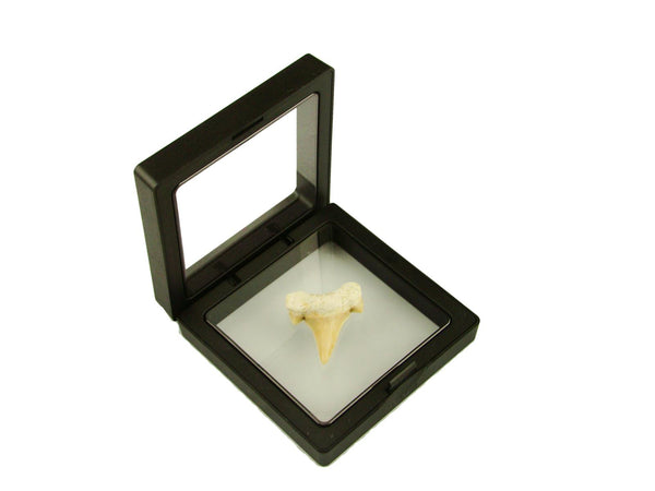Beautiful Carcharocles Auriculatus Shark Tooth Fossil in Display Case #CA11