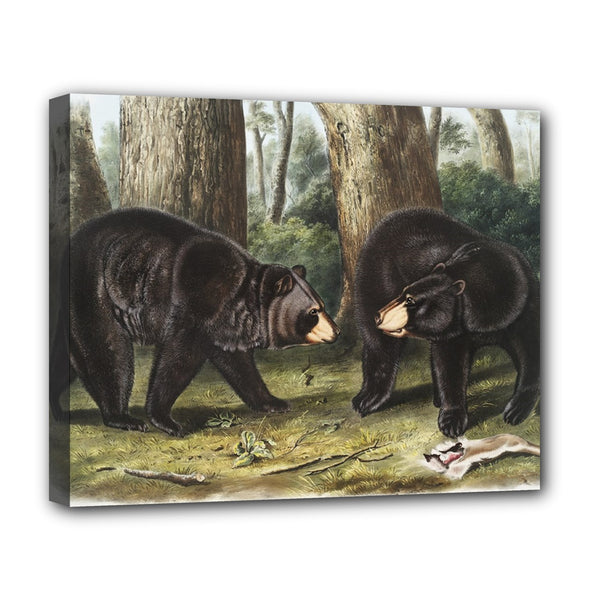 American Black Bear Audubon Stretched Canvas Art Print 20 by 16 Inches