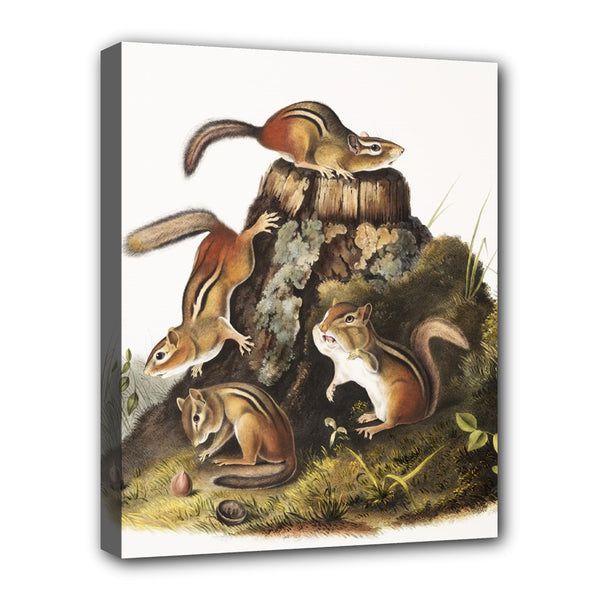 Chipmunks Audubon Stretched Canvas Art Print 20 by 16 Inches