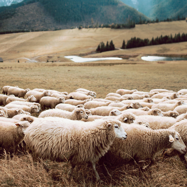Regular Wool vs Merino wool - why pay extra?